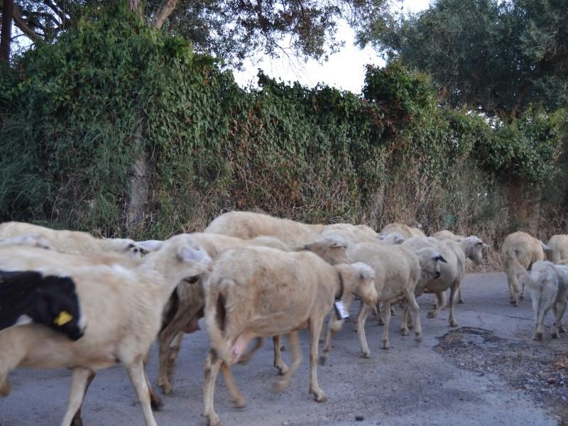 Pastore di Arezzo viene multato perché le sue pecore erano in divieto di sosta